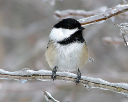 black-capped-chickadee-1356464