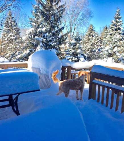 Snowbound Maple